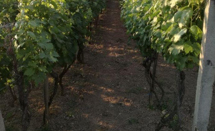 Rezervované: Predaj vinice v tichom prostredí v Jelenci