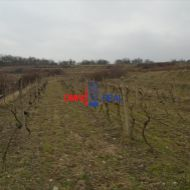 Obrábaný vinohrad nad Svätým Jurom, lokalita Hrčiare (Hofner) 4272 m2