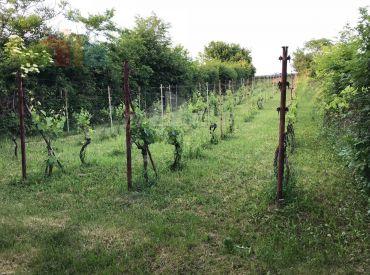 Predáme udržiavanú vinicu Malý Kiar