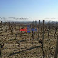 Obrábaný vinohrad medzi Račou a Sv. Jurom, 11 árov