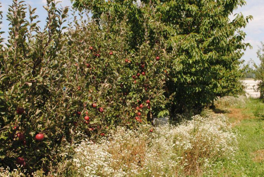 Predaj ovocné sady Žemliare-1