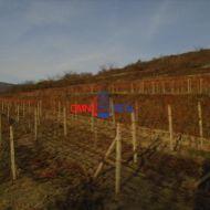 Veľmi dobre obrábaný vinohrad Modra, lokalita Líščie Stráne - 9,3 ára