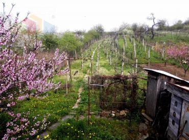 Na predaj pekná vinica s chatkou v Leviciach.