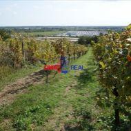 Čiastočne obrábaný vinohrad 9 árov medzi Svätým Jurom a Račou, lokalita Bolnáre, k.u. Vajnory,