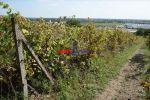 vinice, chmelnice - Svätý Jur - Fotografia 2