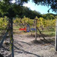 Čiastočne obrábaný vinohrad 32 árov medzi Svätým Jurom a Račou, lokalita , k.u. Vajnory,