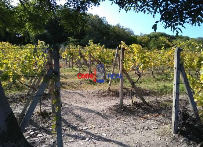 vinice, chmelnice - Svätý Jur - Fotografia 1