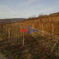 Obrábaný vinohrad Svätý Jur, lokalita Nové hory - 24,5 árov