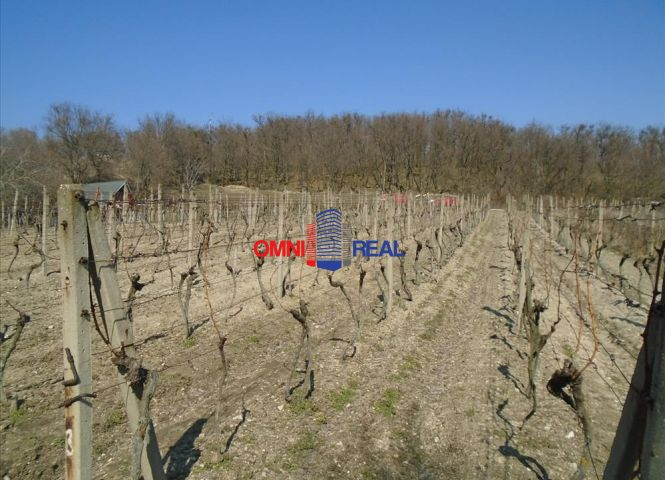 vinice, chmelnice - Modra - Fotografia 1