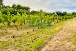 vinice, chmelnice - Trnava pri Laborci - Fotografia 3