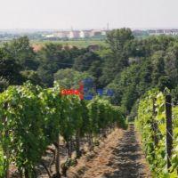 Vinice, chmelnice, Vinosady, 1655 m²