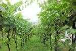 vinice, chmelnice - Hronský Beňadik - Fotografia 3