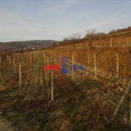 Vinohrad nad Svätým Jurom, lokalita Tepluše - 1110 m2,